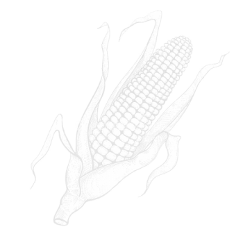 desenho-da-mao-do-milho-vegetal-96067045-e1611779941673.png